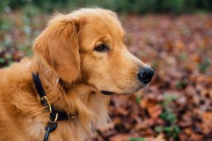 A Golden Retriever Might be the Right Addition to Your Family